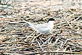 Forster's Tern, Squirrel Island, Bkejwanong Indian Reservation, Ontario, 15 June 2015 (18224616583).jpg