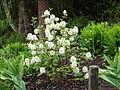 Fothergilla gardenii 'Mount Airy'.JPG