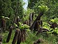 Fougères arborescentes Pairi Daiza.JPG