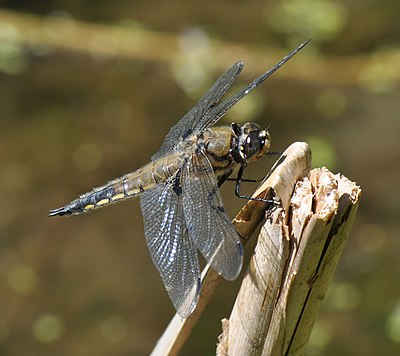 Four-spotted Chaser -(Libellula quadrimaculata).JPG