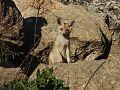 Fox ثعلب احمر.jpg