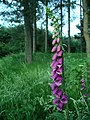 Foxglove, Sherwood Pines - geograph.org.uk - 188579.jpg