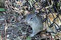 Franklin's Ground Squirrel - Flickr - GregTheBusker (1).jpg