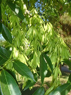 <i>Fraxinus velutina</i> species of plant