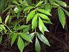 Fraxinus caroliniana foliage