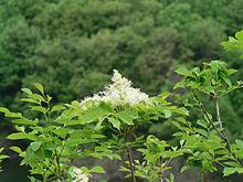 photo de frêne commun