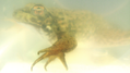 Frog, underwater, showing nictitating membrane (5941772510).png