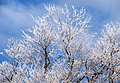 Frost-covered trees, Belfast - geograph.org.uk - 1632069.jpg