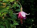 Fuchsia 'Jessie Pearson'.JPG
