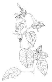 Fuchsia coccinea ellywa