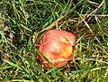 Fungi in Glen Mhairc - geograph.org.uk - 580572.jpg