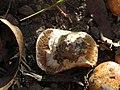 Fungi sp. (42342177172).jpg