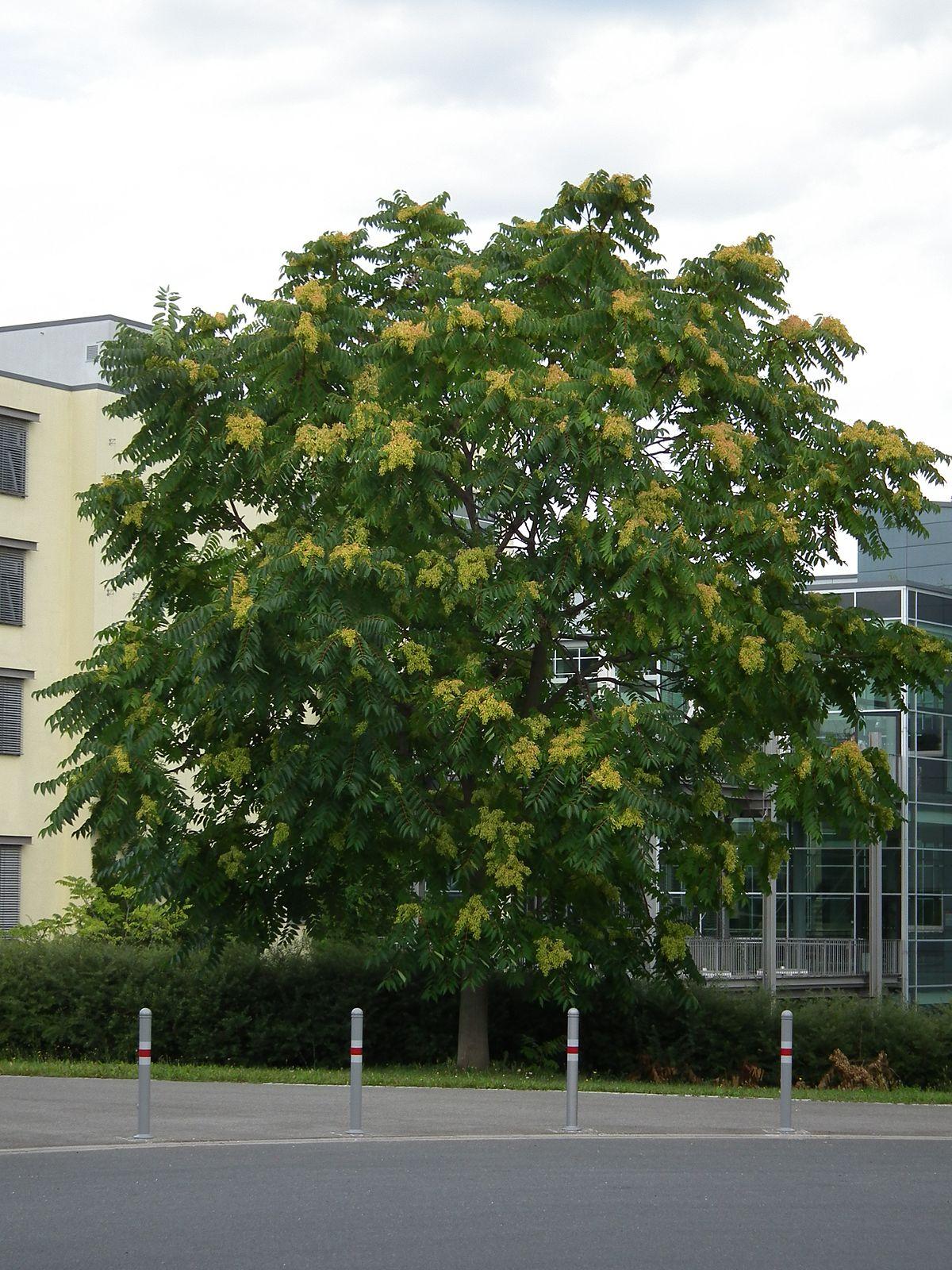 Ailanthus altissima wikip dia - Arbre a pousse rapide ...