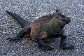 Galapagos Iguana 02.jpg