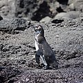 Galapagos Penguin (32833350217).jpg