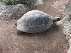 Galapagos tortoise at the Bermuda Aquarium & Zoo.jpg