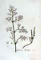 Galium Mollugo — Flora Batava — Volume v3.jpg