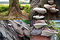 Ganoderma adspersum or G. australe or G.tornatum (GB= Polyporus Australis or Southern Bracket, D= Wulstige Lackporling, F= Ganoderme d'Europe, NL= Dikrandtonderzwam) brown spores and causes white rot, with clearly vis - panoramio.jpg