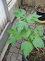 Gardenology.org-IMG 7819 qsbg11mar.jpg