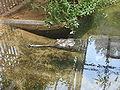 Gavialis gangeticus at national zoo 2.jpg