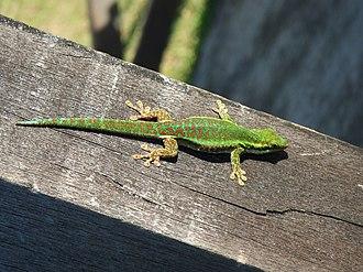 Réunion Island day gecko - Image: Gecko Vert des Hauts Phelsuma Borbonica (1)