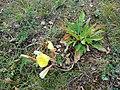 Gele Bloom 1 an'n Bullenbarg bi Nindörp 01.jpg