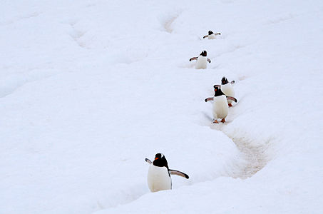 """Gentoo Penguins using a """"penguin highway"""" in Antarctica. These highways, that connect their nesting areas and the sea, are carved in the ice by hundreds of thousands of penguin feet."""