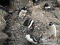 Gentoo penguins nesting (24729851525).jpg