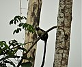 Geoffroy's tamarin (Saguinus geoffroyi) (28084579767).jpg