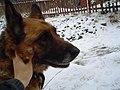 German Shepherd (aka Alsatian and Alsatian Wolf Dog), Deutscher Schäferhund (Folder (IV) 05.JPG