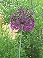 Giant Allium (1557468586).jpg