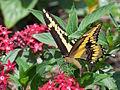 Giant Swallowtail on Pentas 18.jpg