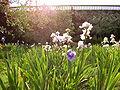 Giardino dell'iris 3.JPG