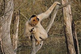 Gibbon à favoris roux femelle DSCF3618.jpg