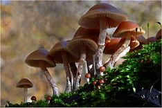 A group of about a dozen reddish-brown mushrooms clustered together and growing out of a decaying piece of wood covered with moss. The gills on the underside of the caps can be seen, as well as a small ring of tissue on the upper half to third of the whitish-brown stems. Visible amongst the larger mushrooms are about a dozen miniature versions of the larger mushrooms, with hemispherical caps that do not have the gills exposed.