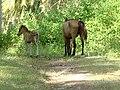 Gili Meno horses.jpg