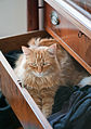Gillie in the sock drawer (3285245276).jpg
