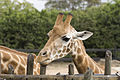 Giraffe at Taronga Zoo.jpg
