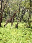 Giraffe in Nairobi 4.jpg