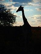 Giraffe silhouette.jpg