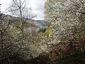 Glentarken Wood, St Fillans, with spring blossom - geograph.org.uk - 1579520.jpg