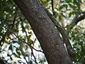 Glochidion ellipticum var. ellipticum (6927755019).jpg