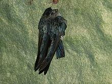 Глянцевые свифтеты (Collocalia esculenta) (8127975211) .jpg