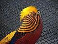 Golden Pheasant in the Vandalur Zoo.jpg