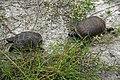 Gopher Tortoise Series. Please croll down to view -) - Flickr - Andrea Westmoreland.jpg