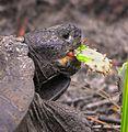 Gopher Tortoise snacking on Opuntia ( Nopales ) cactus at Smyrna Dunes Park - Flickr - Andrea Westmoreland.jpg