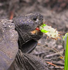 Tortoise feeding on a cactus
