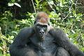 Gorilla gorilla02.jpg