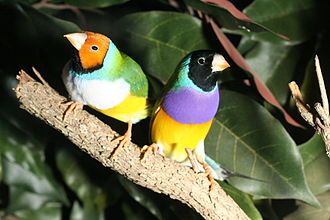 Like these male (right) and female Gouldian finches (Erythrura gouldiae), many Passeroidea are very colorful GouldianFinches.jpg