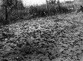 Gräshoppssvärm på marken. Fotot taget någon av dagarna 1-3 augusti 1911. N.v. Madagaskar - SMVK - 773D.tif